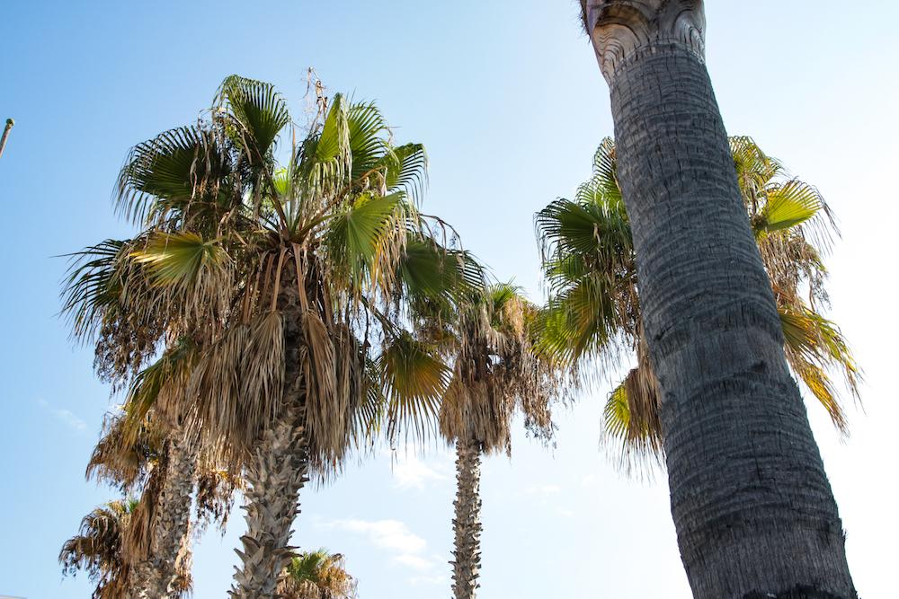 Schöne Palmen auf Mallorca, Blick in den Himmerl