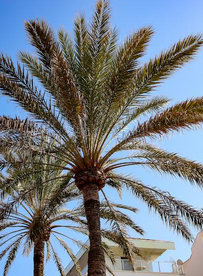 Schöne Palme auf Mallorca