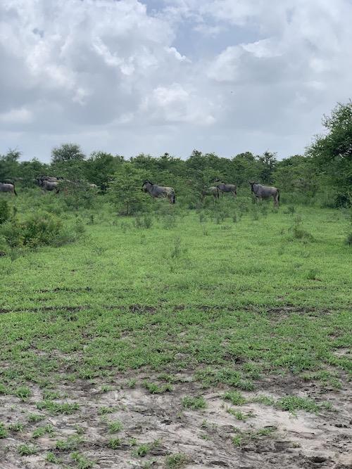 Gnus auf der Safari in Tansania im Selous Game Reservat.