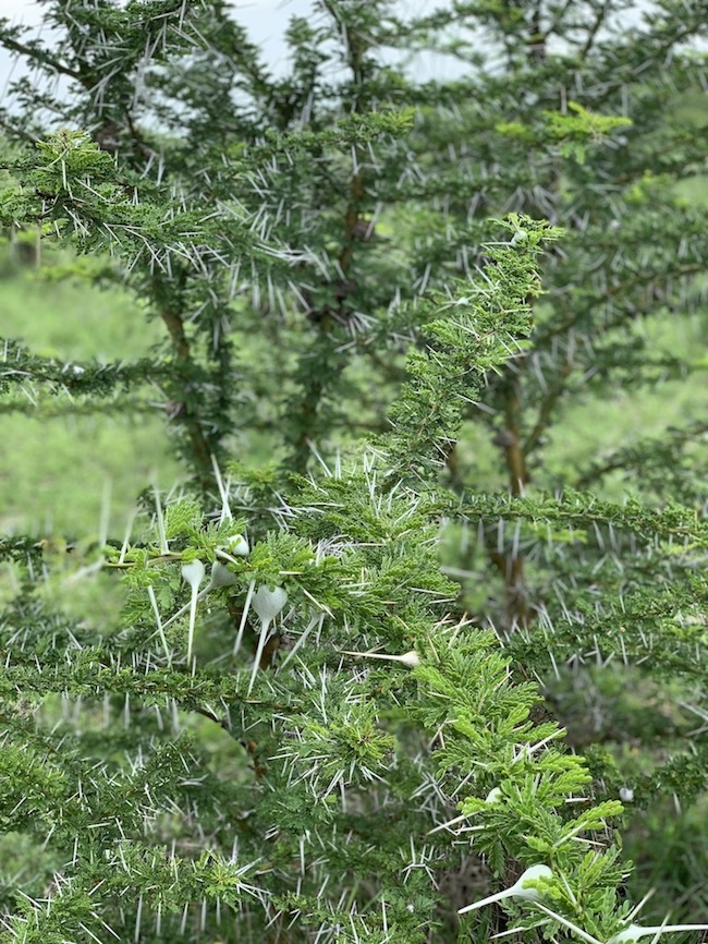 Ein Stachelbusch auf der Safari in Tansania im Selous Game Reservat.