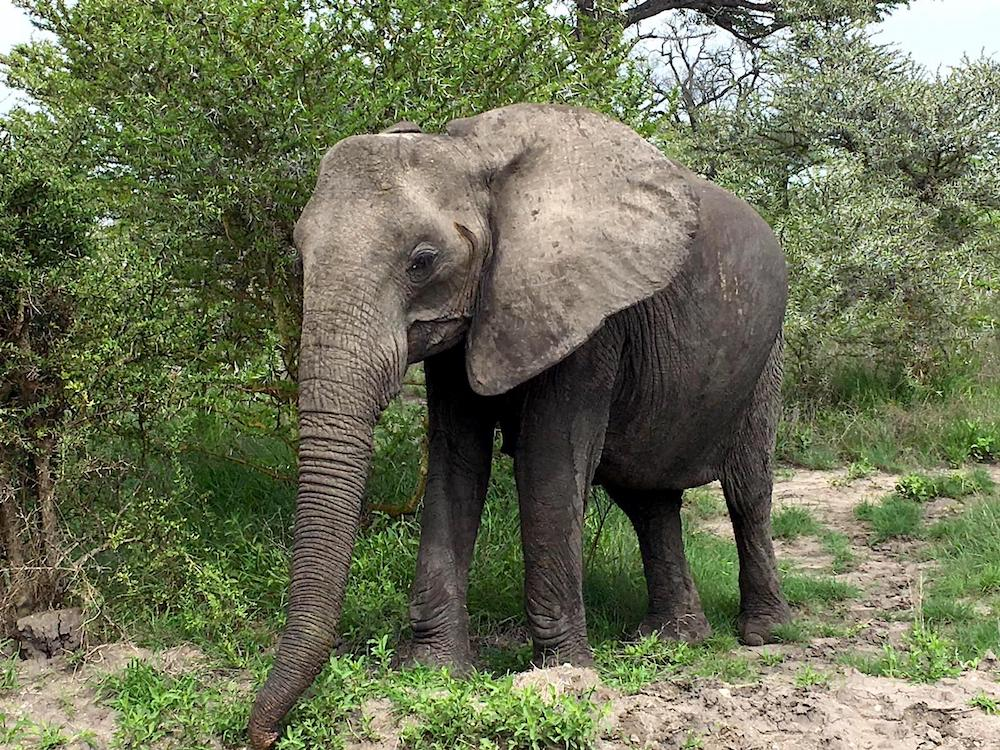 Ein Elefant auf der Safari in Tansania im Selous Game Reservat.