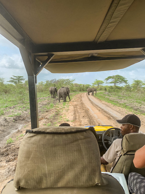 Der Ausblick auf Elefanten aus dem Geländewagen auf der Safari in Tansania im Selous Game Reservat.