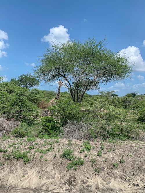 Giraffen auf der Safari in Tansania im Selous Game Reservat.
