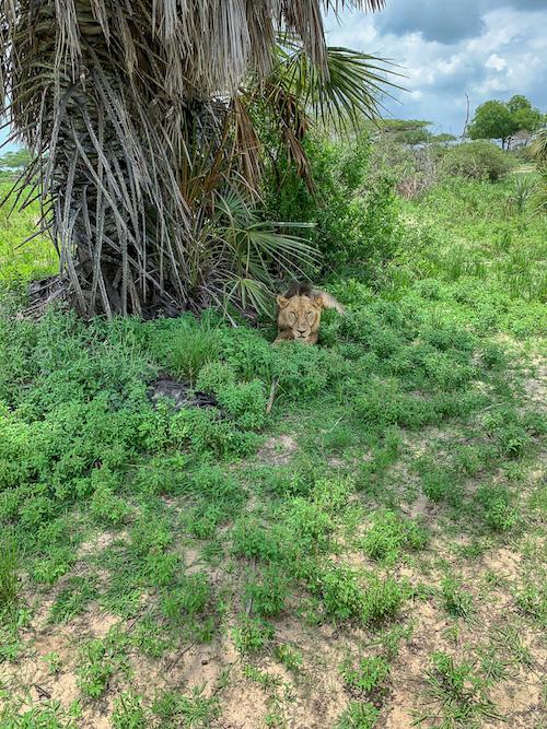 Ein Löwe auf der Safari in Tansania im Selous Game Reservat.