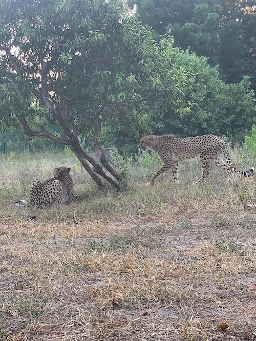 2 Geparden im Wildtierreservat Cheetah's Rock.