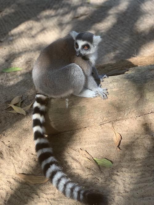 Ein Lemur im Wildtierreservat Cheetah's Rock.