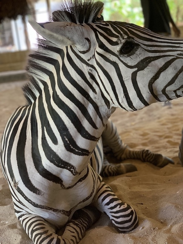 Zebra im Wildtierreservat Cheetah's Rock.