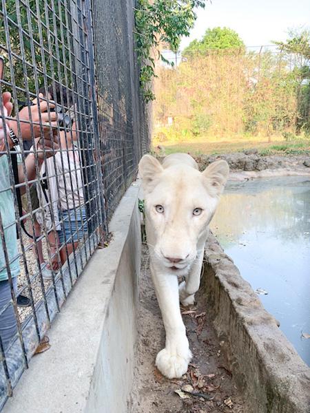 Eine weiße Löwin im Wildtierreservat Cheetah's Rock.
