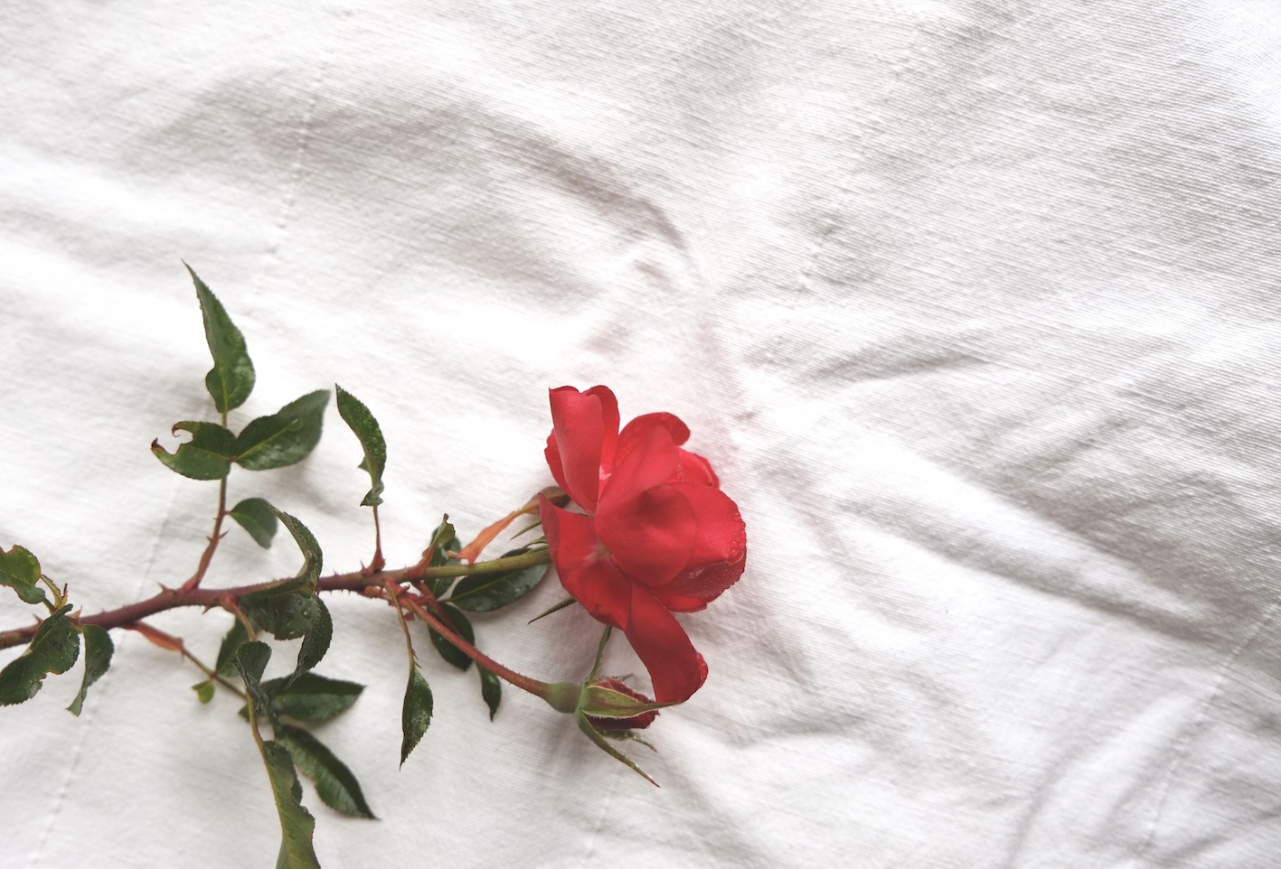 Rote Rose auf weissem Untergrund
